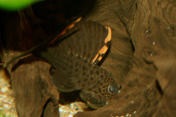 Three Beacon Pleco