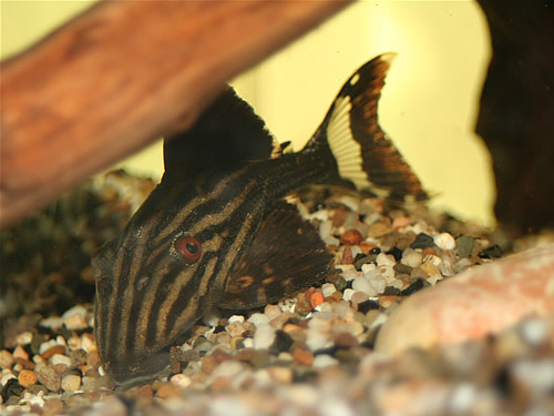 "Royal Pleco ""Llanos"""