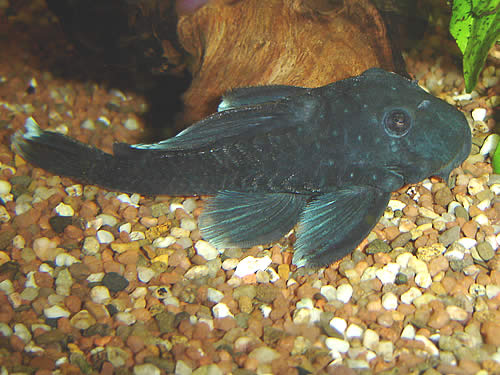 "Blue Fin ""Panaque"""