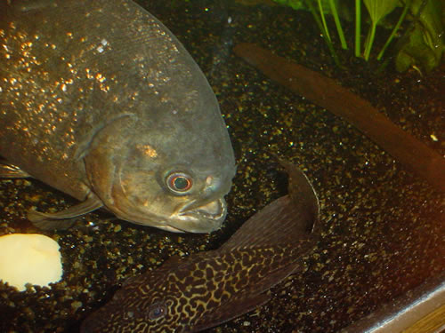 Rode Piranha vs. Pleco